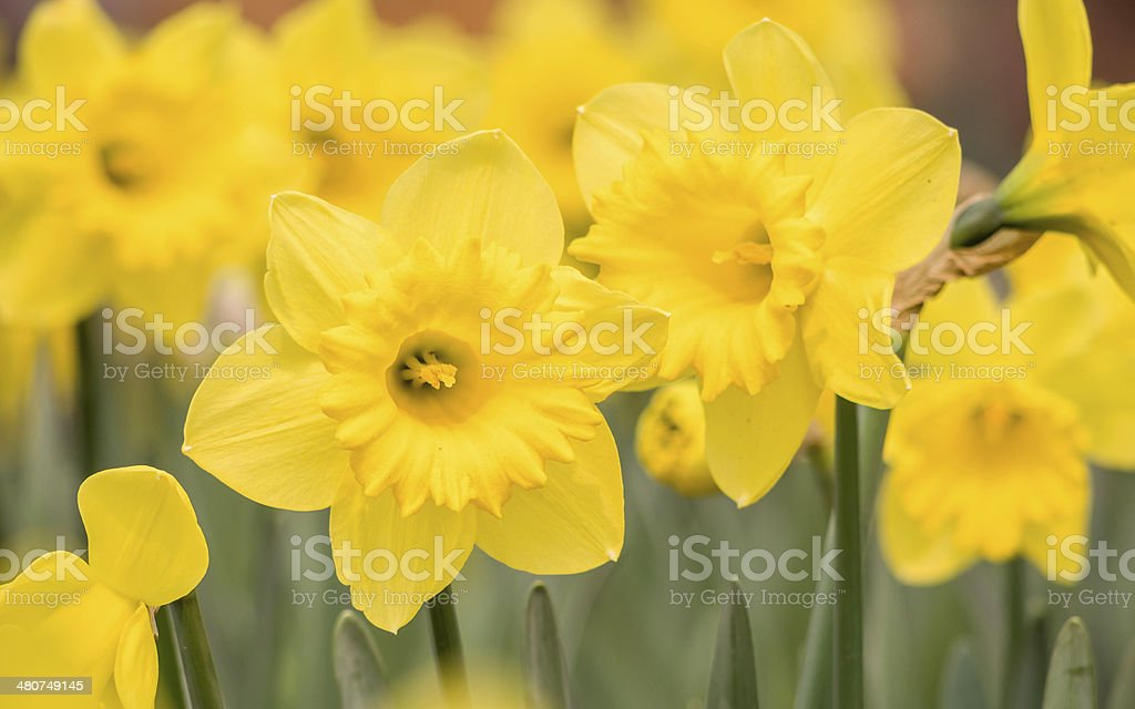 Spring flowers series, yellow daffodils in the field stock photo
