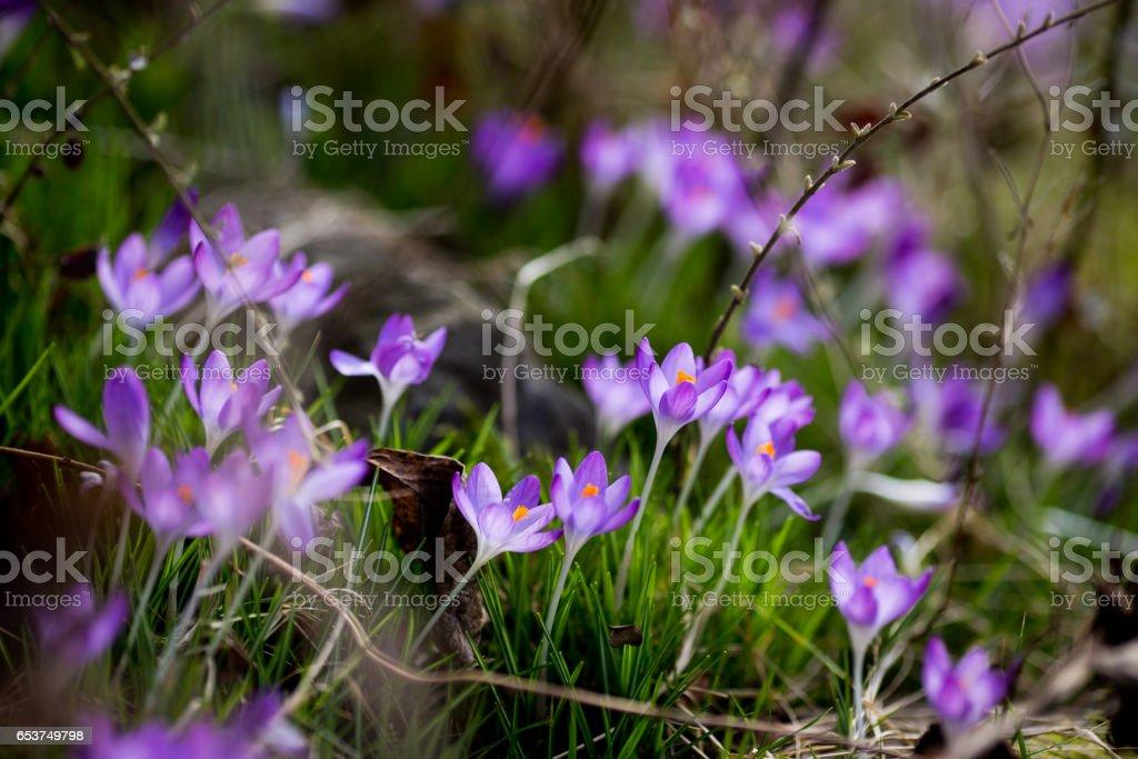 spring flowers snowdrops crocuses stock photo