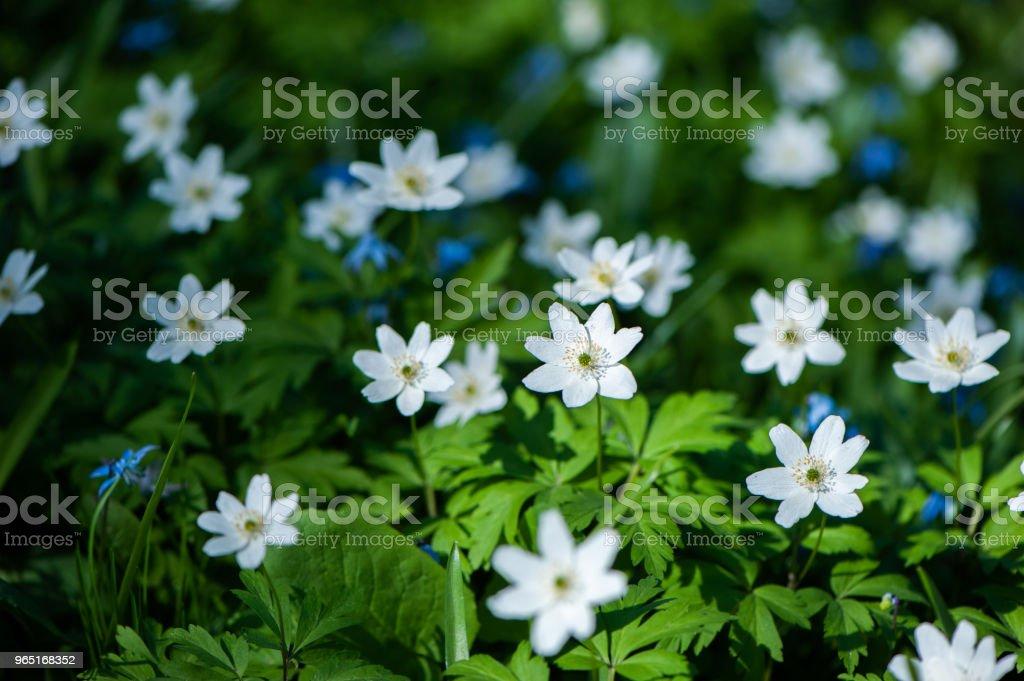 Spring flowers, snowdrops. Gently green tones, white flowers, background. Botany, spring zbiór zdjęć royalty-free