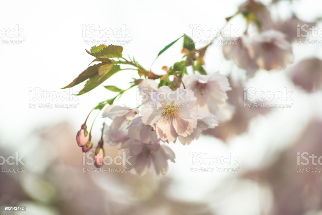 Spring flowers. Spring Background with cherry blossom, sakura bloom in the blue sky background royalty-free stock photo
