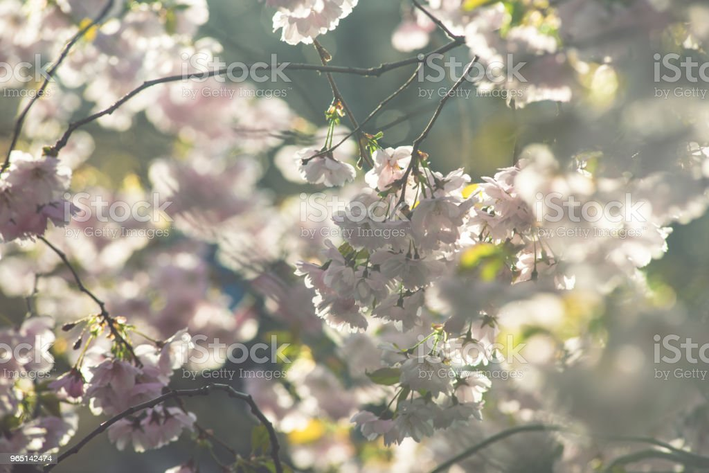 Spring flowers. Spring Background with cherry blossom, sakura bloom in the blue sky background zbiór zdjęć royalty-free
