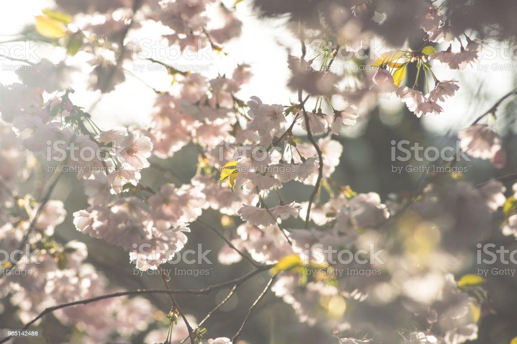 Spring flowers. Spring Background with cherry blossom, sakura bloom in the blue sky background zbiór zdjęć royalty-free