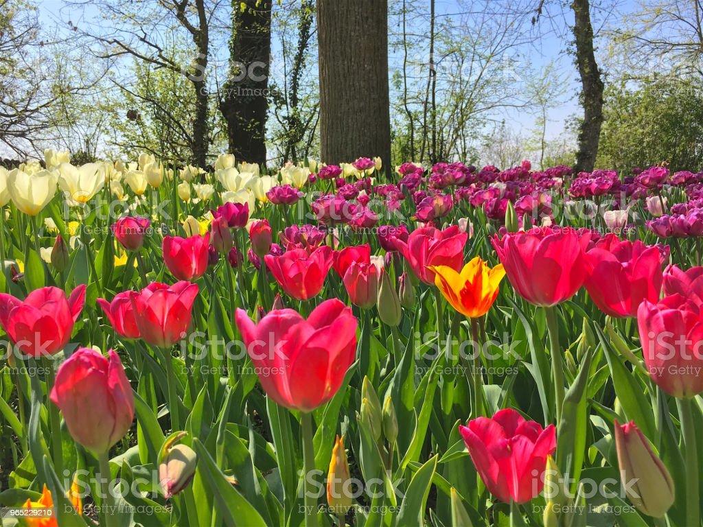 Spring Flowers Tulips zbiór zdjęć royalty-free