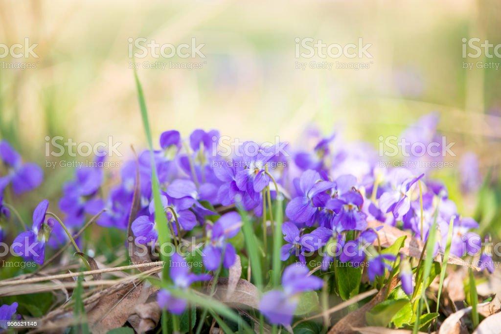 Frühling Blumen Veilchen - Lizenzfrei Baumblüte Stock-Foto