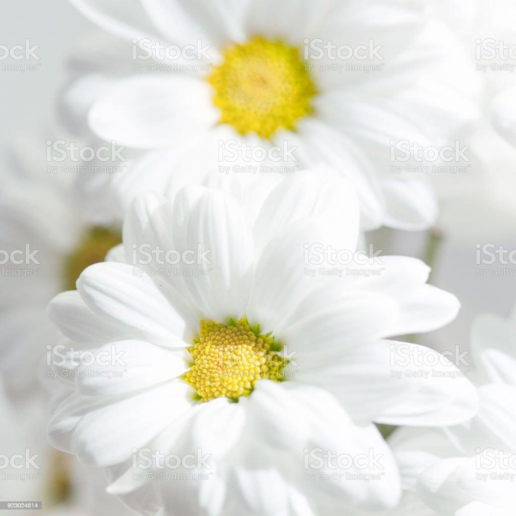 春の花の壁紙灰色の背景に白いガーベラ花またはデイジーの花クローズ