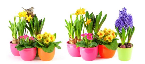 Spring flowers white background hyacinth primulas daffodils picture id930769914?b=1&k=6&m=930769914&s=612x612&w=0&h=88p4gmldulcil8v gqzpjoak6apc2j9zbsgels2hu5a=