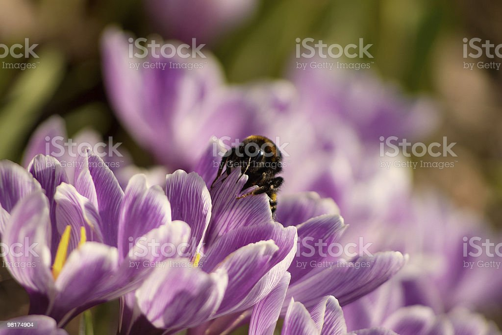Spring Flowers with Bumblebee royalty-free stock photo
