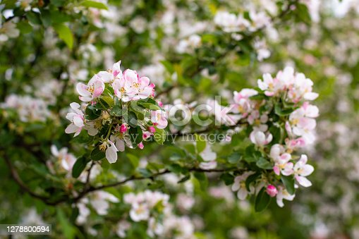 Spring flowers with delicate rose petals. Apple blossom in spring, background wallpaper