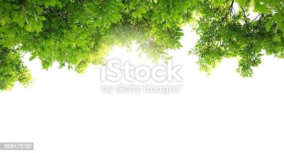 Oak tree leaves.