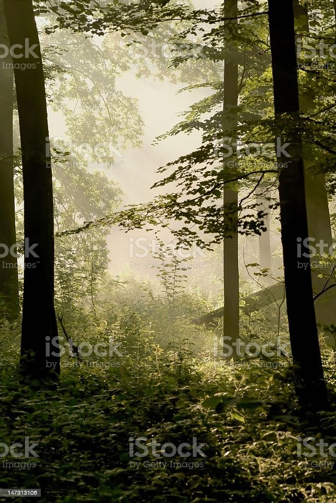 Spring forest at dawn royalty-free stock photo