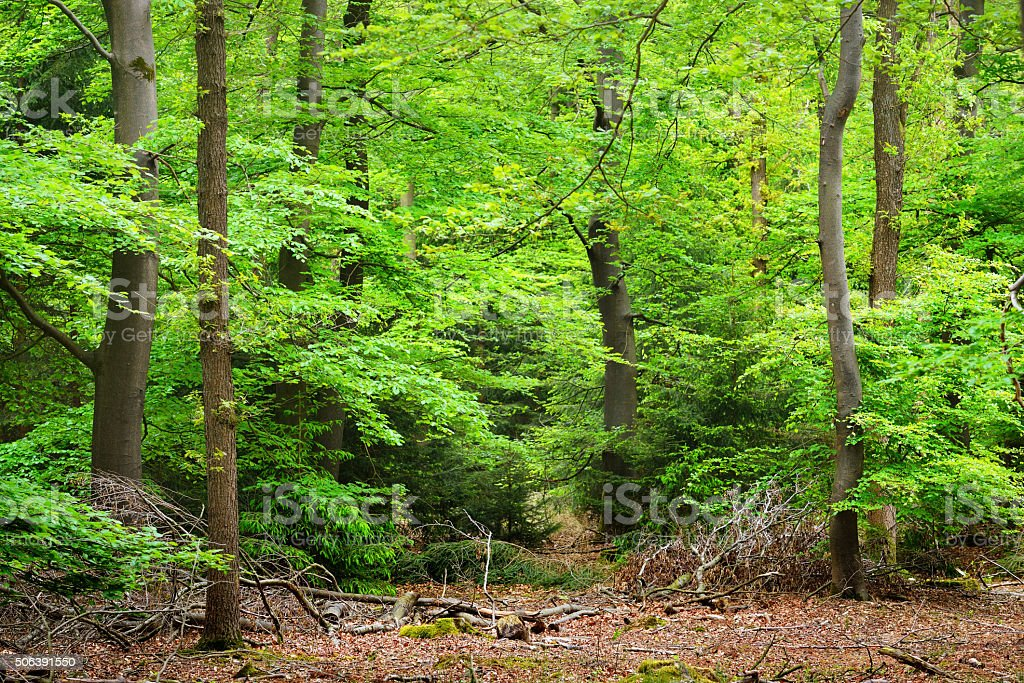 Spring forest in the Netherlands stock photo