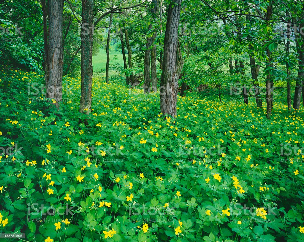 Spring Forest In Vermont royalty-free stock photo