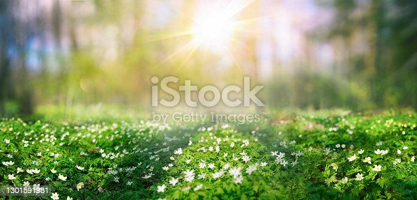 Beautiful white flowers anemones in spring and shining bright sun in nature in forest. Spring morning forest landscape with flowering primroses, soft selective focus in foreground.