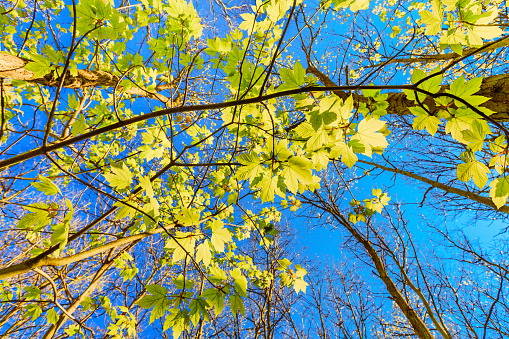Looking up to the blue sky while a bunch of fresh green leafs growing under the spring sun.