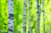 Birch tree (Betula pendula) forest. Focus on foreground tree trunk. Shallow depth of field.