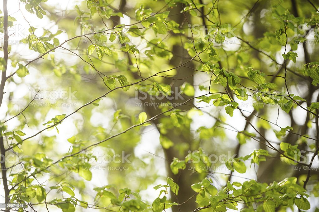 Spring forest royalty-free stock photo