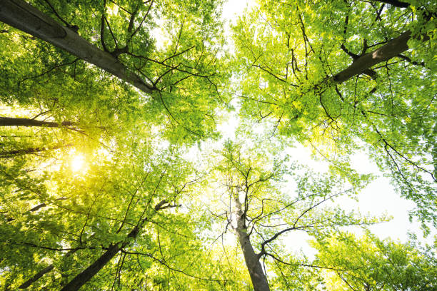spring forest - directly below stock pictures, royalty-free photos & images