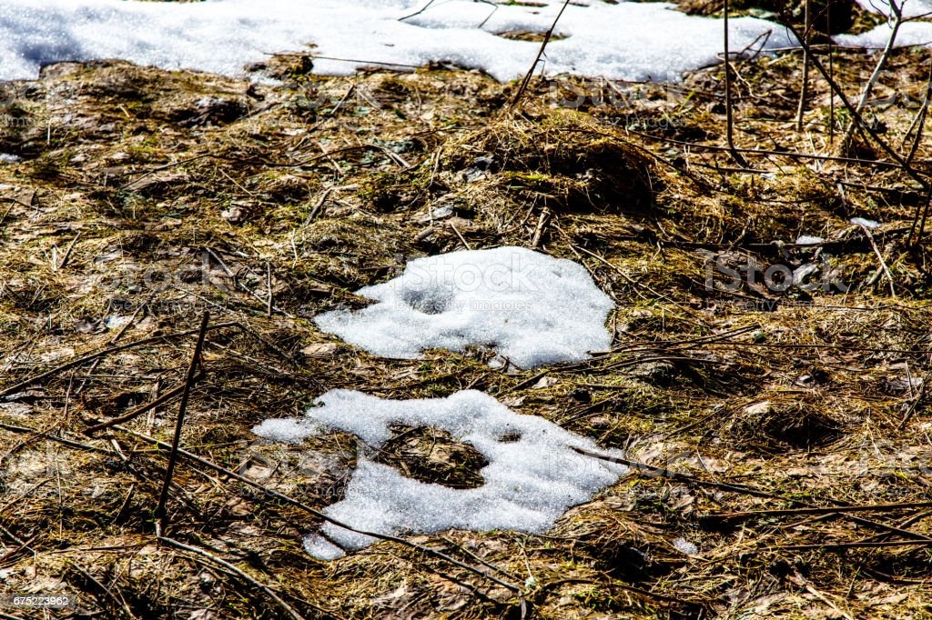 Spring forest. The snow is melting between the trees. royalty-free stock photo