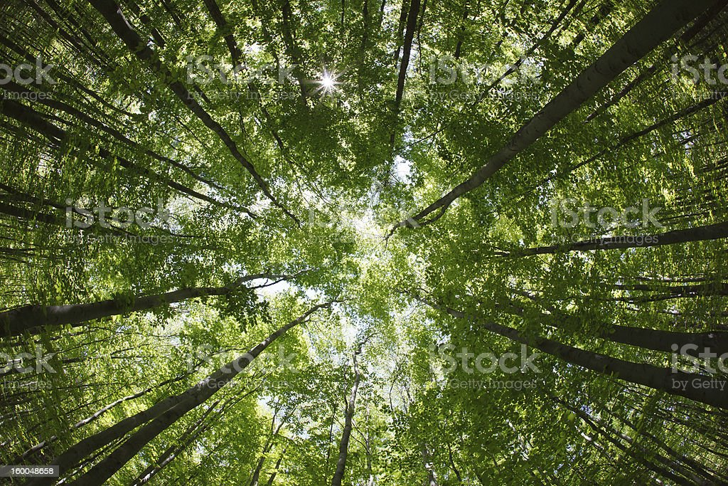 spring forest treetops/canopy stock photo
