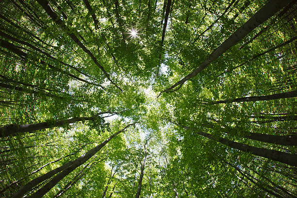spring forest treetops/canopy spring forest treetops (intentionally distorted image; shot with a fisheye lens) canopy stock pictures, royalty-free photos & images