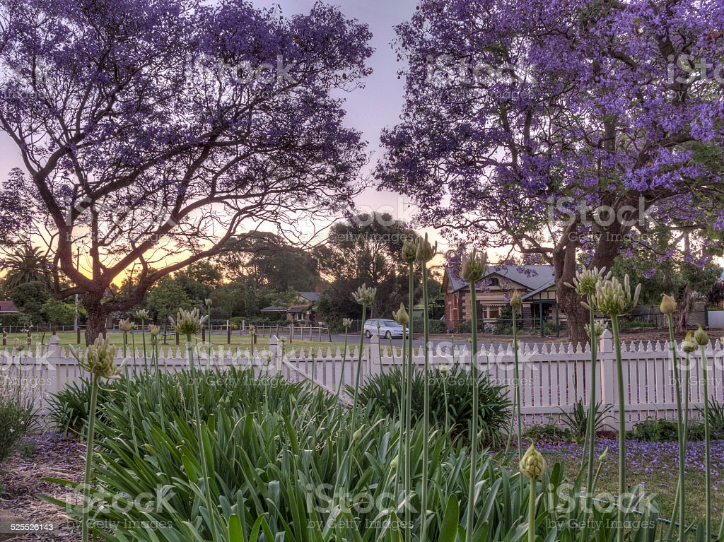Spring garden - Evening with Jacarandas stock photo