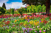 Panoramic field of pink and orange tulips.