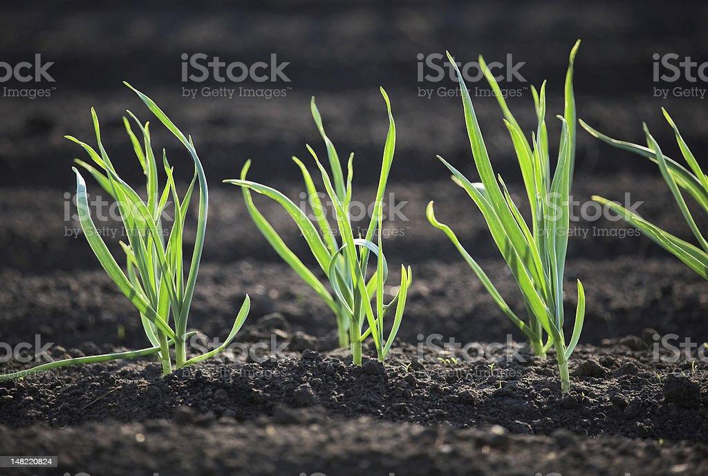Spring garden plants - garlic, onion stock photo