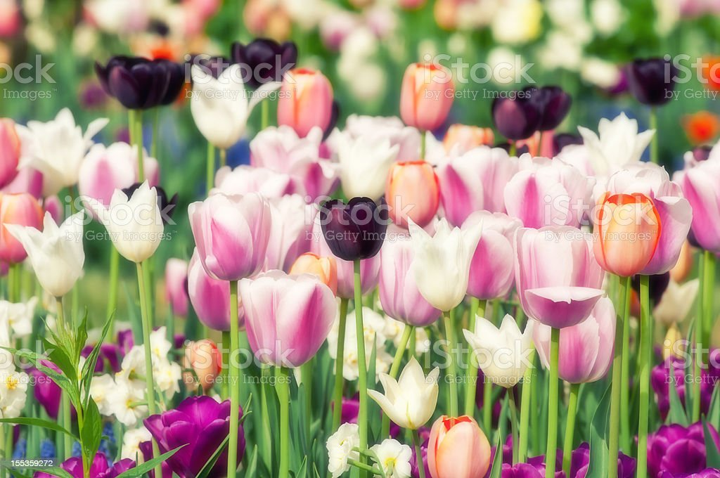 Spring garden: Tulips, daffodils, muscari flowers - IV royalty-free stock photo