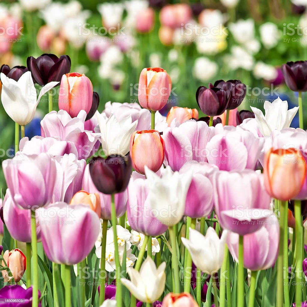 Spring garden: Tulips, daffodils, muscari flowers - V royalty-free stock photo