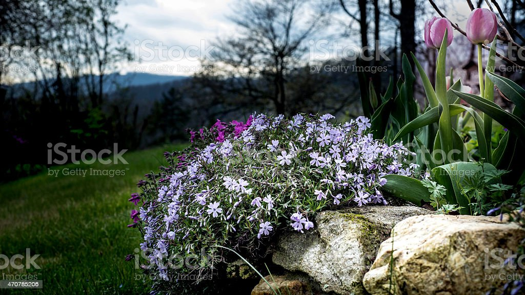 Spring garden with tulips and creeping phlox stock photo