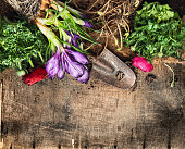 Spring gardening background with  crocus, buttercups, scoop on rustic wooden table, top view