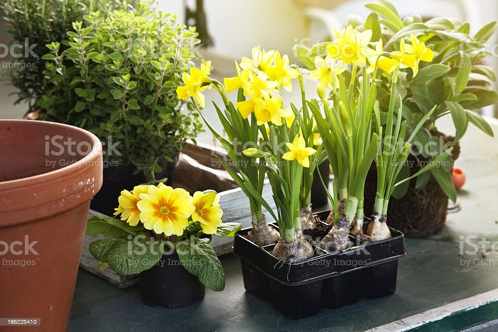 spring gardening primrose, daffodils and herbs royalty-free stock photo