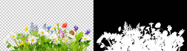 spring grass and daisy wildflowers isolated background - grass isolated foto e immagini stock