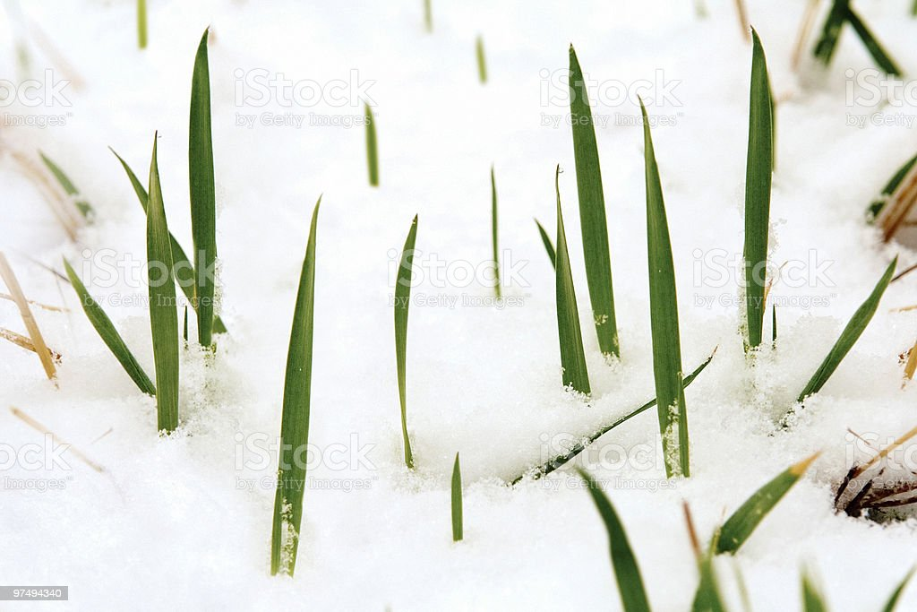 Spring grass and snow royalty-free stock photo