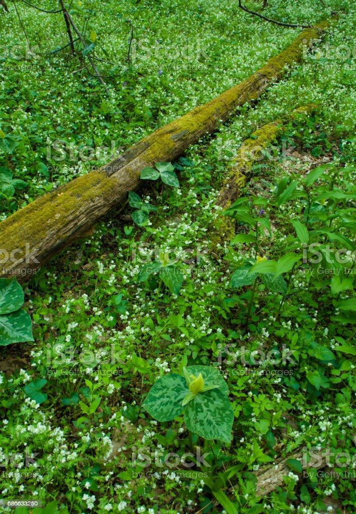 Spring, Great Smoky Mountains NP, TN royalty-free stock photo