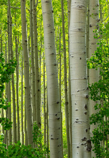 Spring Green and Aspen Trees stock photo