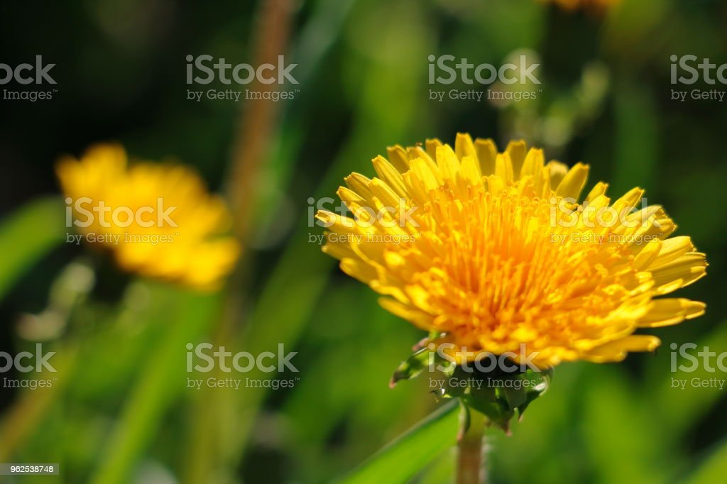 spring green background, yellow dandelion - Royalty-free Agricultural Field Stock Photo