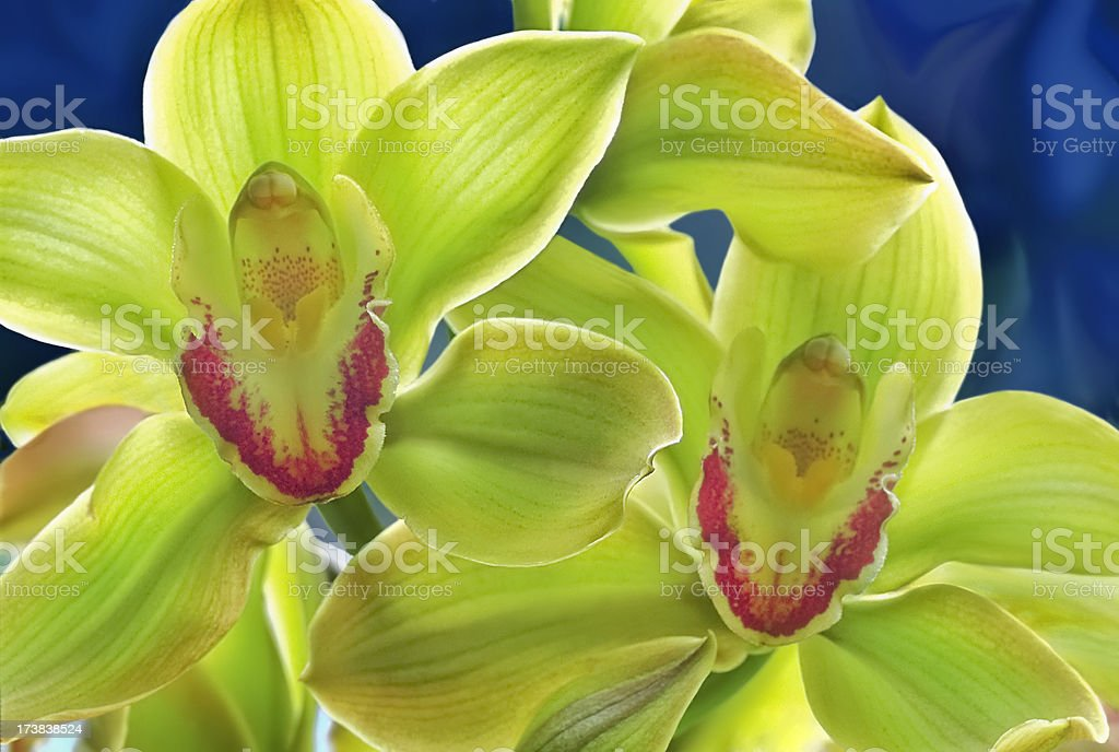 Spring Green Cymbidium Orchid stock photo