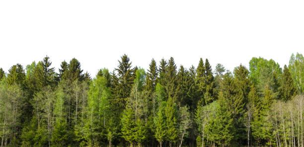 spring green forest aan de horizon is geïsoleerd. - pinaceae stockfoto's en -beelden