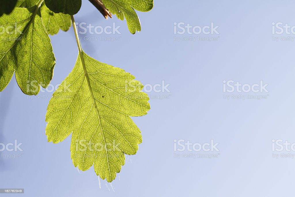 Spring green hawthorn leaves in blue sky royalty-free stock photo