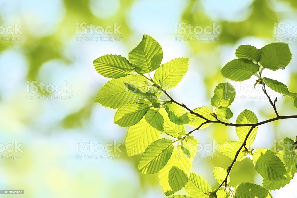 Spring green Leafs - defocused Background stock photo