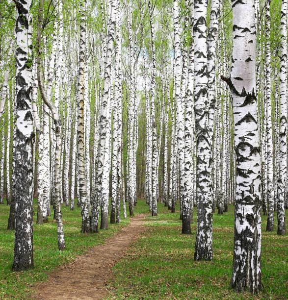 Frühling grünen im birch grove – Foto