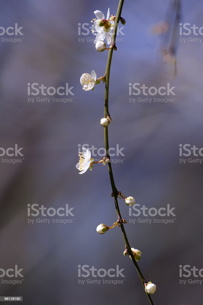 Spring greetings with peach blossoms royalty-free stock photo