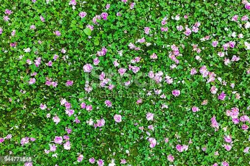 Flowers of Japanese sakura cherry fallen on green grass