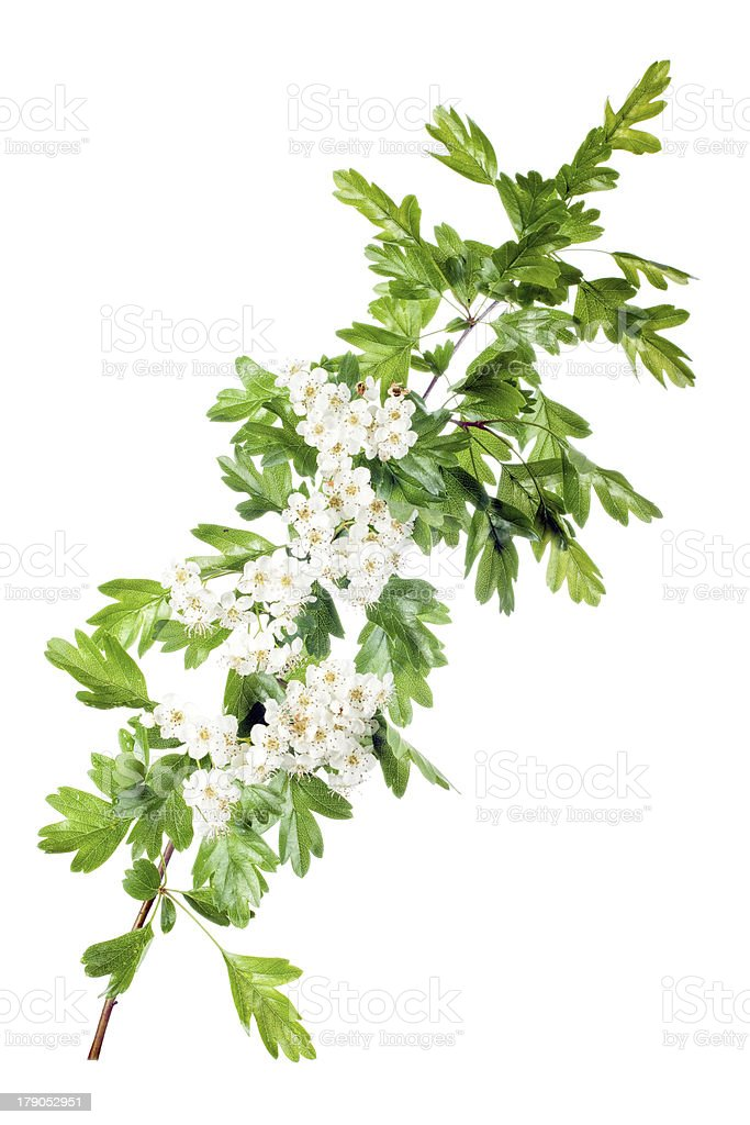 spring hawthorn blossom stock photo