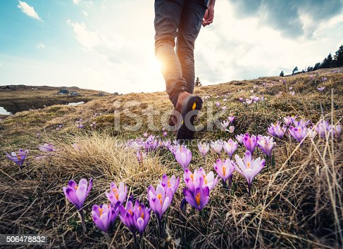 Woman hiking over the mountain meadow full of blooming crocus flowers.