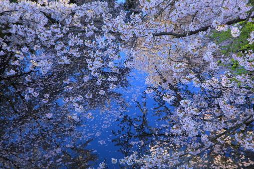 Spring Hirosaki