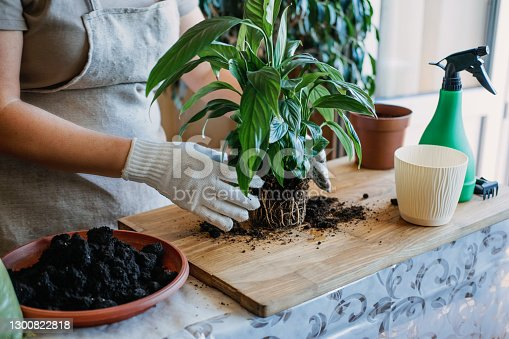 istock Spring Houseplant Care, Waking Up Indoor Plants for Spring. Woman is transplanting plant into new pot at home. Gardener transplant plant Spathiphyllum 1300822818