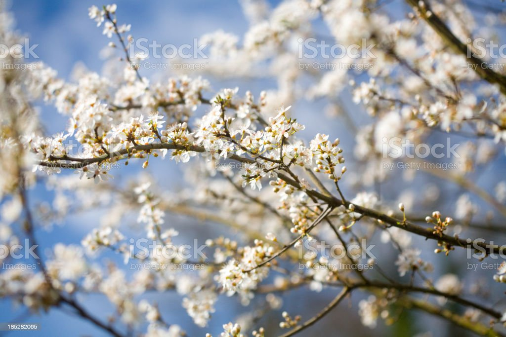Spring Howthorn blossom stock photo