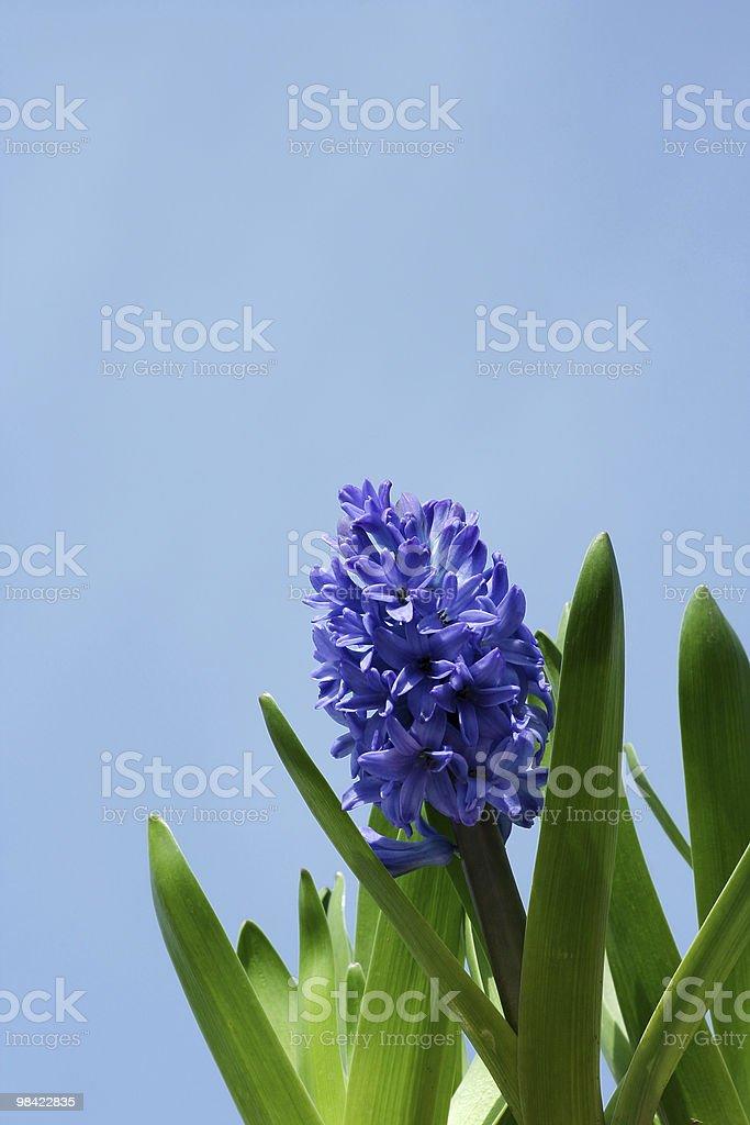 Spring hyacinths royalty-free stock photo